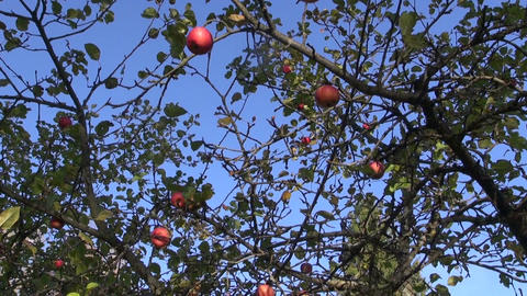 Gardener picking ripe apples Footage