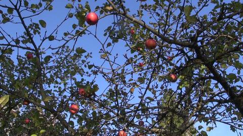 Gardener picking ripe apples Footage
