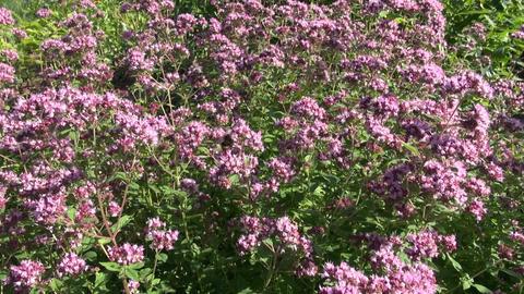 Bumblebee group on oregano Footage