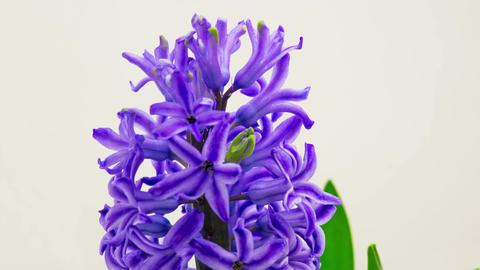 Blue Hyacinth Flower Blooming Filmmaterial