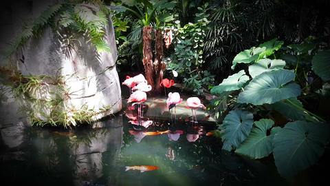 Pink Flamingo and Koi Carp Footage