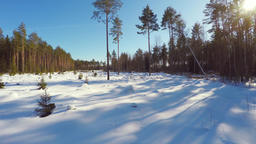 Winter landscape. Low altitude flight over the trees. Pine Footage