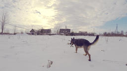 Slow Motion Of German Shepherd Dog Running Through Snow. Steadicam Footage