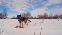 Slow Motion Of German Shepherd Dog Running Through Snow. Steadicam 영상물