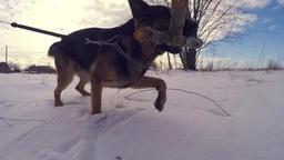 Slow Motion Of German Shepherd Dog Running Through Snow. Steadicam Image