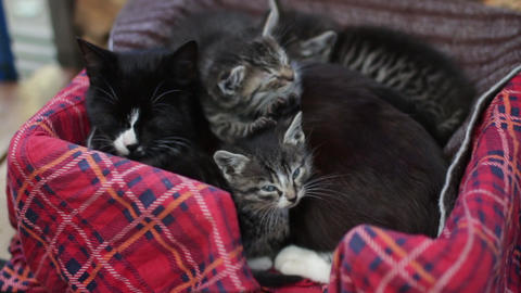 black cat is lying with little kittens Stock Video Footage