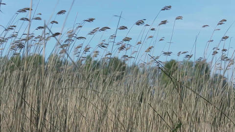 Ears on long stems Bulrush swing from wind Footage