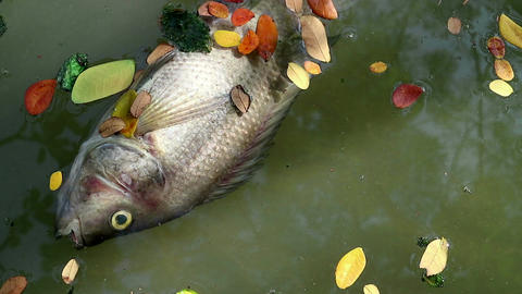 Dead fish and fallen leaves floating on planktonic algae water