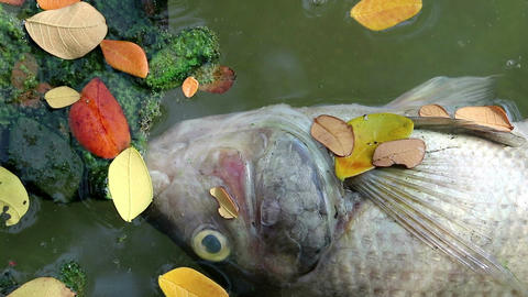 Dead fish and fallen leaves floating planktonic algae water Live Action