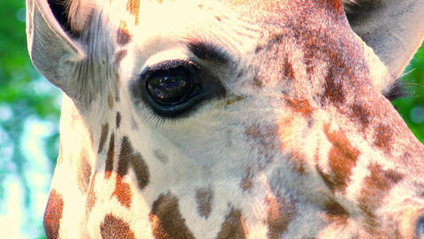 Close-up of giraffe's eye looking at camera. Highly detailed picture Footage