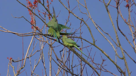 Parrots - Parakeets on a tree branch Footage