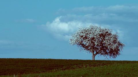 flowering tree Footage