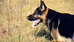 German shepherd dog playing outdoor Image