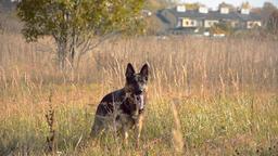 German shepherd dog playing outdoor Footage