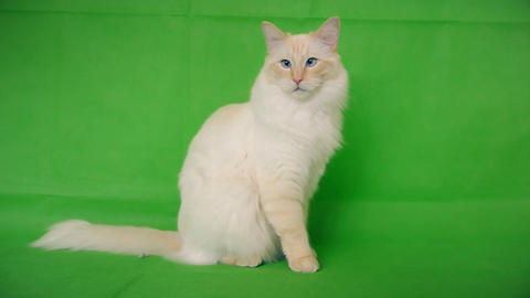 Ragdoll is a white and fluffy cat. Green background Live Action