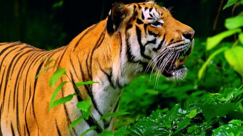 Bengal tiger looking about and walking into jungles away from camera Footage
