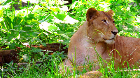 Relaxed female lion resting on green grass near fallen log and thicket of plants Footage