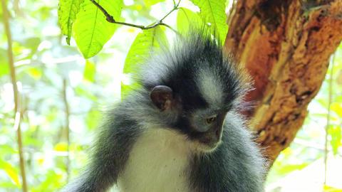 Sumatran endemic Thomas Leaf langur monkey in tropical rainforest relaxing Live Action