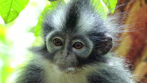 Close-up of Thomas's leaf langur monkey sitting on tree and looking around Footage