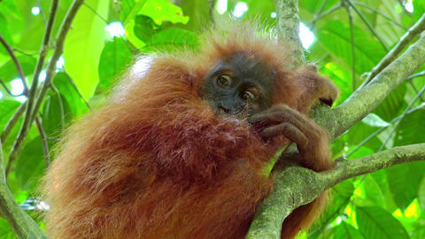 Cute baby orangutan hanging on branch and looking around against green foliage Footage