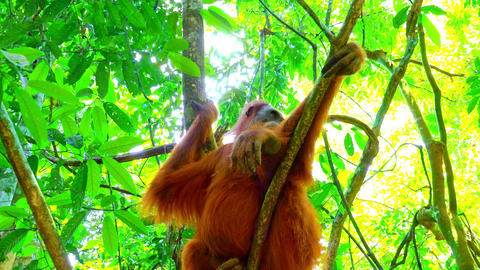 Zooming video of orangutan female in tropical rainforest relaxing on tree Live Action