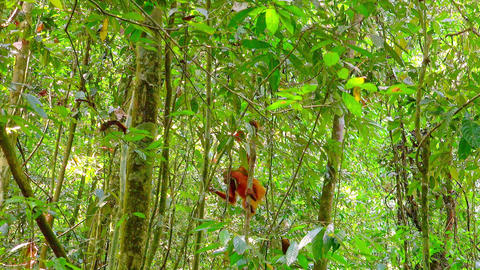 Orangutan cute baby in tropical rainforest climbing on trees. Sumatra, Indonesia Live Action