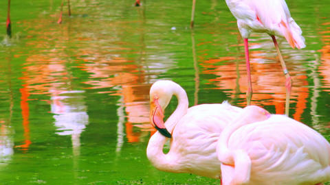 Pair of sleepy white flamingos standing with their beaks under wings Footage