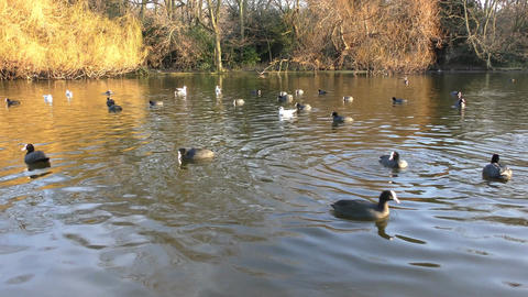 Geese and other birds swim in the pond Footage