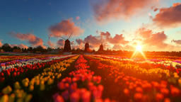 Traditional Dutch windmills with vibrant tulips in the foreground over sunset Animation