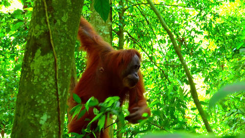 Orangutan female eating fresh leaves in tropical rainforest and relaxing on tree Footage