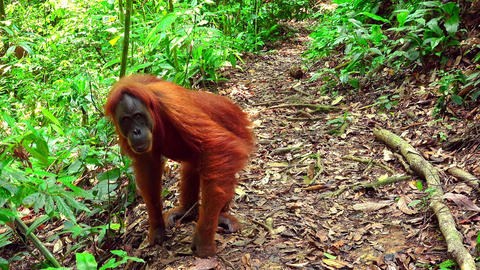 Female orangutan standing on ground covered with dry fallen leaves Footage