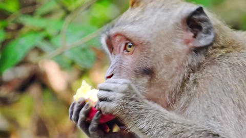 Close-up of balinese exotic forest monkey chewing food. Crab-eating macaque Footage