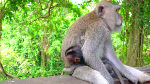 Mother monkey grabs baby and walks away. Balinese long-tailed macaques Footage