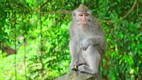 Balinese long-tailed macaque (Macaca fascicularis) sitting on stone,eating fruit Footage