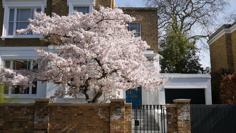 A tree with white flowers in front of the house Footage
