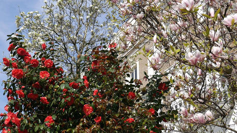 Spring. Magnolia and red flowers Footage