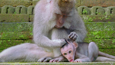 Adult crab-eating macaques trying to groom its naughty child. Mother monkey care Footage