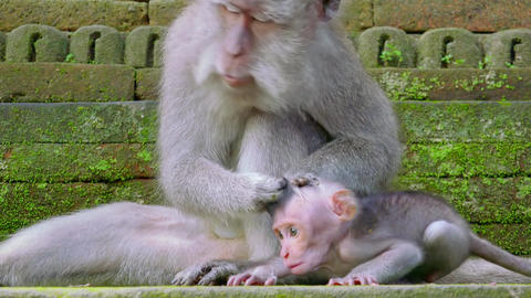 Adult crab-eating macaques trying to groom its naughty… Stock Video Footage