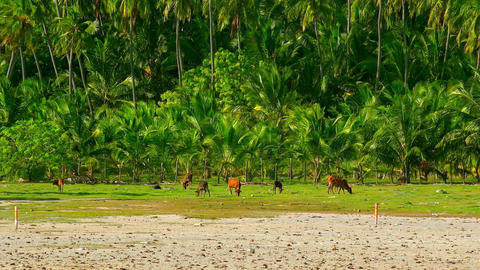 Herd of cows grazing by river against coconut palm plantation. Sri Lanka Footage