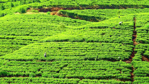 Local people gathering tea leaves among rows of cultivated shrubs. Sri Lanka Footage