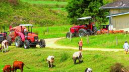 Organic milk farm at Sri Lanka. People shepherding cattle and cows nipping grass Footage