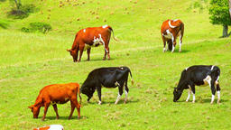 Beautiful pastoral scene with group of grazing domestic animals. Organic farm Footage