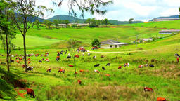 Rural Sri Lankia scenery. Vast green plain with herds of cattle. Organic farm Footage