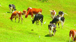 Free range livestock eating grass on slopes of hill pasture at milk farm Footage