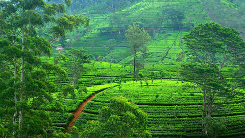 Beautiful tea plantations with fresh green leaves in Sri Lanka highlands Footage