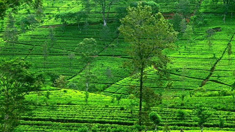 Picturesque landscape with accurate rows of tea shrubs covering hills Footage