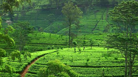 Organic tea plantation at Sri Lanka on summer day. Large fields of raised-beds Footage