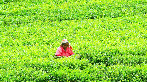 Local farmer harvesting top leaves of tea shrubs on plantation in Sri Lanka Footage