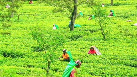 Local farmer harvesting top leaves of tea shrubs on plantation in Sri Lanka Footage