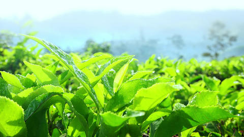 Juicy tea leaves covered by morning dew slightly tremble in light breeze Footage